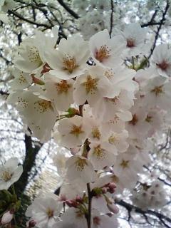 桜満開の東北