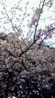日曜散歩@上野公園の桜