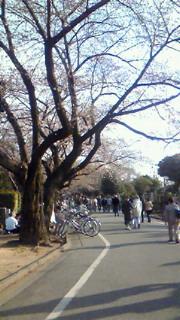 三分咲き谷中霊園