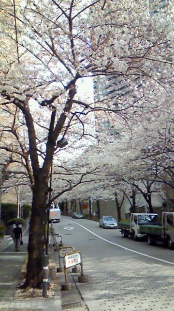 スペイン坂の桜並木
