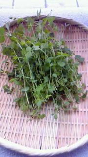 豆苗、収穫