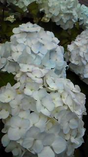ぽんぽん紫陽花