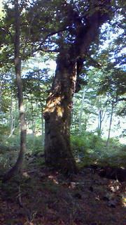 樹齢400年のミズナラ