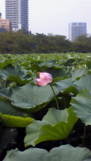 忍不池の蓮花