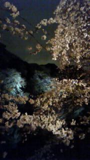 感動!千鳥が淵の桜