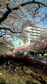 桜祭@播磨坂