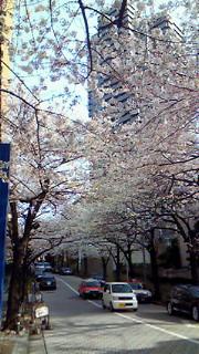 スペイン坂の桜、昼夜