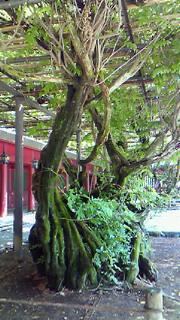 樹齢400年
