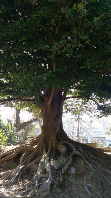 ラピュタの木