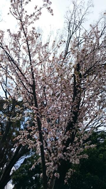 上野公園早咲きの桜