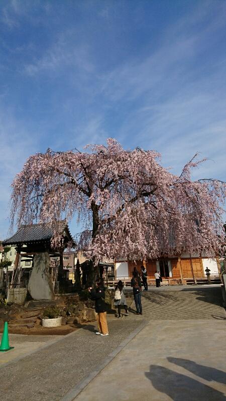 谷中のお寺さんの桜