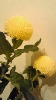 ぼんぼり菊