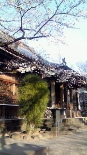 寛永寺本堂と桜