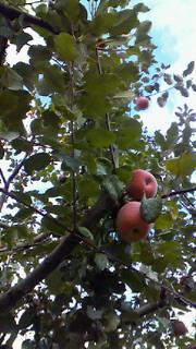 山梨は勝沼の果物畑散歩