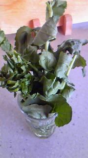 大根の葉、再生!