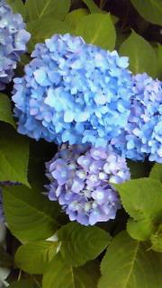 白山神社の紫陽花