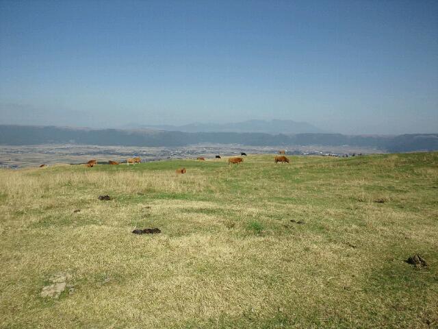 阿蘇の草はむ赤牛