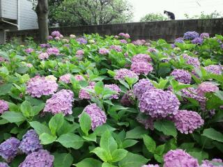 紫陽花神社