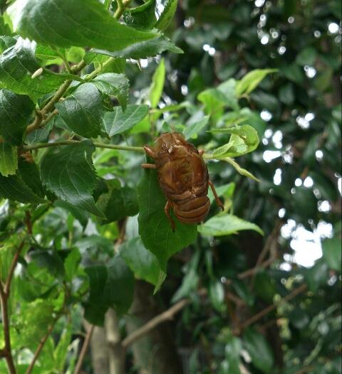 蝉の観察会