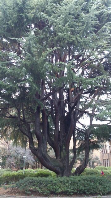 東大駒場のヒマラヤ杉